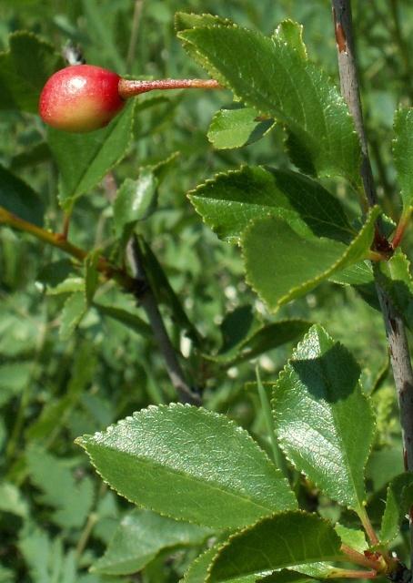 Prunus fruticosa, třešeň křovitá