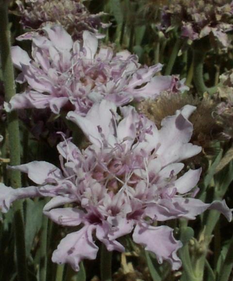 Pterocephalus lasiospermus, perohlávek