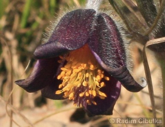Pulsatilla pratensis subsp. bohemica