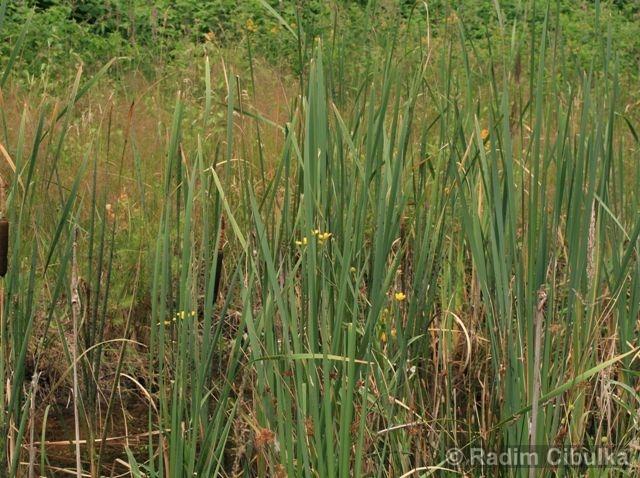 Ranunculus lingua, pryskyřník velký