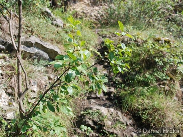 Rhamnus cathartica, řešetlák počistivý