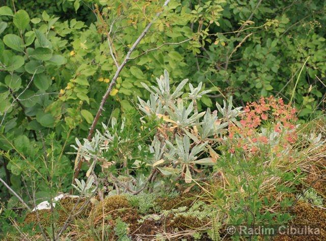 Saxifraga paniculata, lomikámen vždyživý