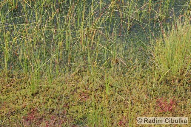 scheuchzeria-palustris1