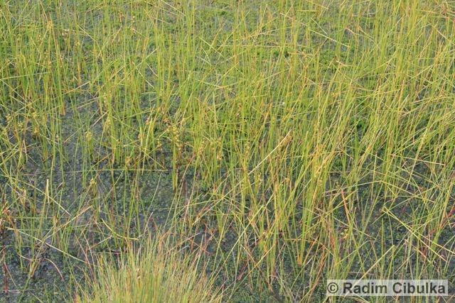 scheuchzeria-palustris2
