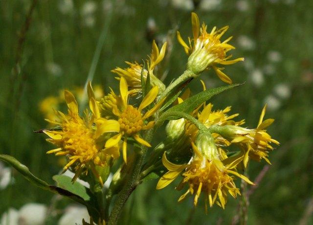 Solidago virgaurea subsp. minuta, zlatobýl obecný alpínský