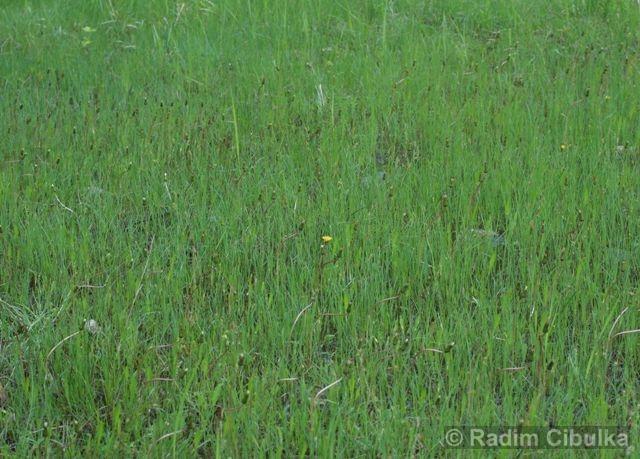 Taraxacum bavaricum, pampeliška bavorská