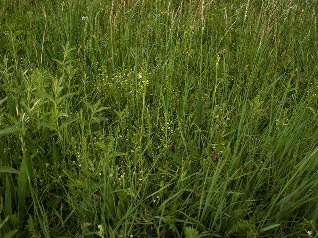 Thesium ebracteatum, lněnka bezlistenná