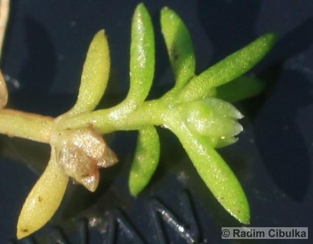 Tillaea aquatica, masnice vodní