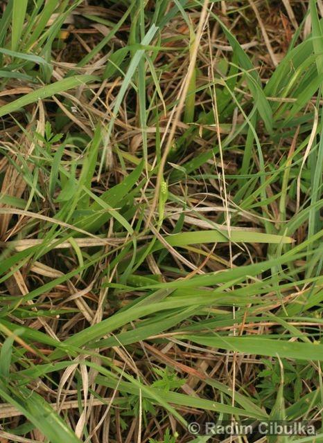 Tofieldia calyculata, kohátka kalíškatá