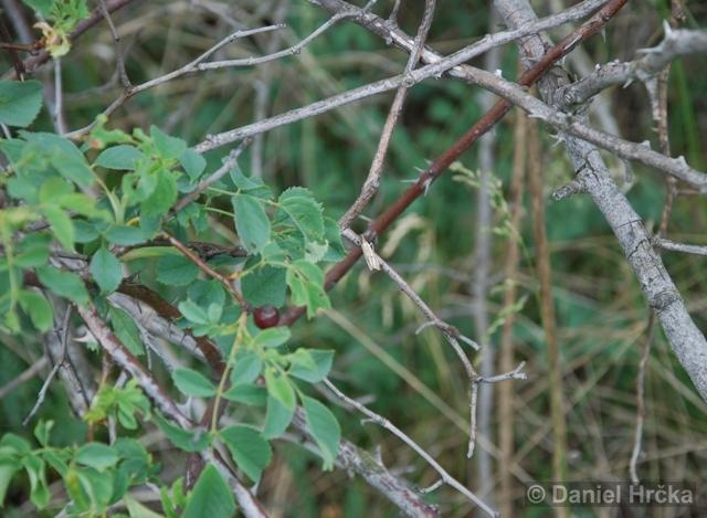 Thisanotia chrysonuchella, travařík kostřavový
