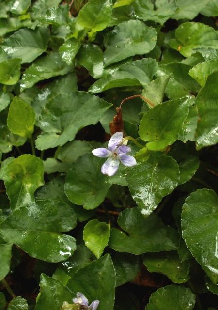 Viola anagae, violka