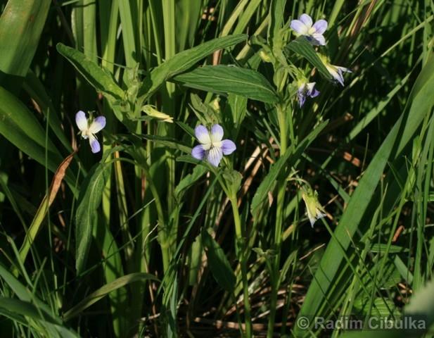 Viola elatior, violka vyvýšená