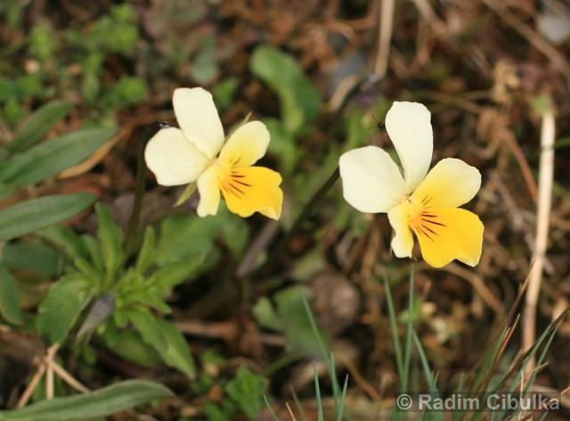 Viola tricolor subsp. saxatilis