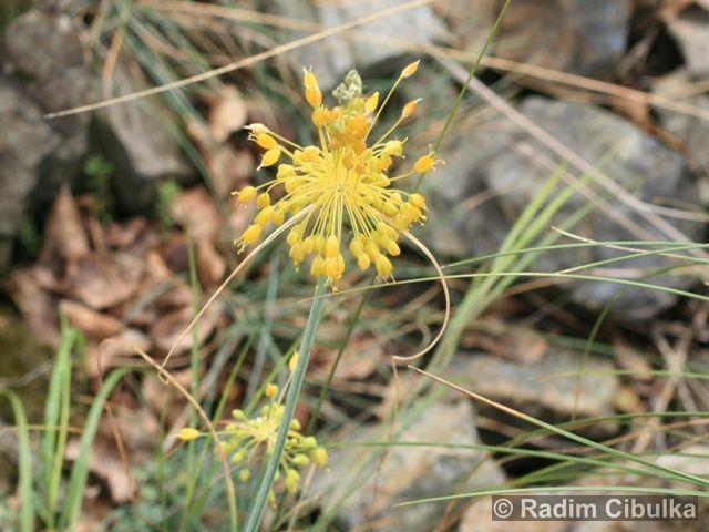 ALLIUM FLAVUM L. – česnek žlutý