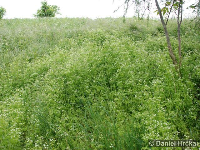 Anthriscus cerefolium subsp. trichosperma