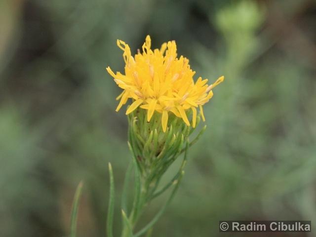 Ohrožená pražská příroda: HVĚZDNICE ZLATOVLÁSEK (Aster linosyris)