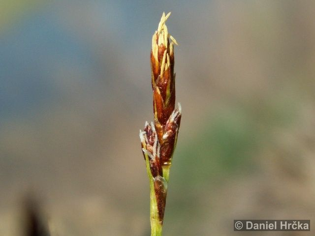 Ohrožená pražská příroda: OSTŘICE DROBNÁ (Carex supina)