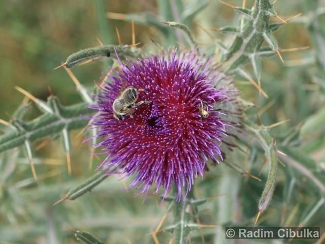 Ohrožená pražská příroda: PCHÁČ BĚLOHLAVÝ (Cirsium eriophorum)