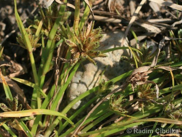 Cyperus fuscus