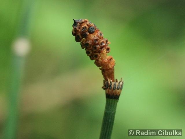 Ohrožená pražská příroda: PŘESLIČKA ZIMNÍ (Equisetum hyemale)