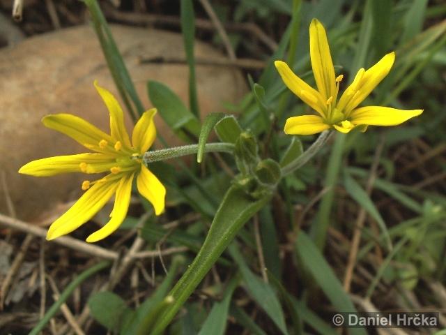 Ohrožená pražská příroda: KŘIVATEC ROLNÍ (Gagea villosa)