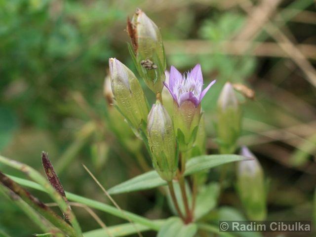 Ohrožená pražská příroda: HOŘEČEK NAHOŘKLÝ (Gentianella amarella)
