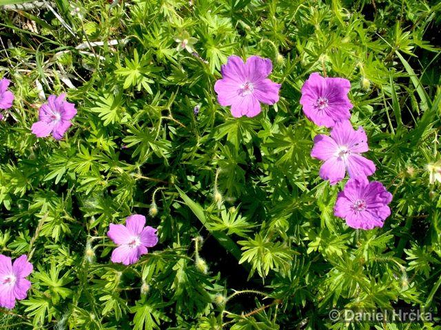 Geranium sanguinem