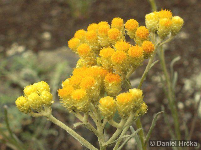Ohrožená pražská příroda: SMIL PÍSEČNÝ (Helichrysum arenarium)