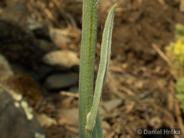 Hieracium echioides