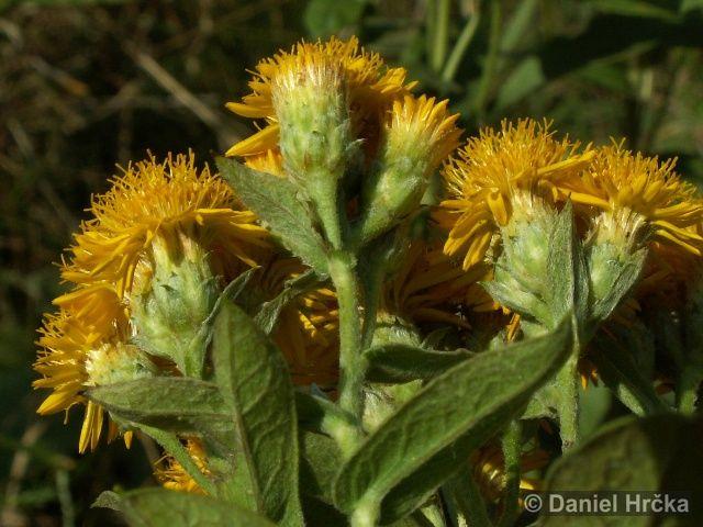 Inula germanica, oman německý