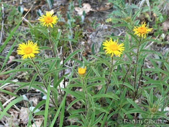 Ohrožená pražská příroda: OMAN SRSTNATÝ (Inula hirta)