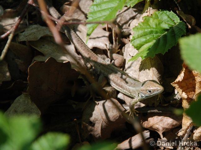 ještěrka obecná