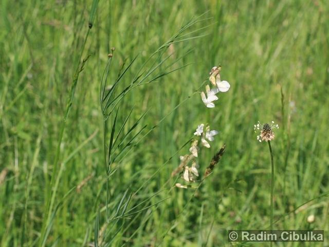Lathyrus pannonicus subsp. pannonicus