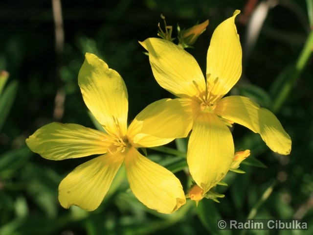 Ohrožená pražská příroda: LEN ŽLUTÝ (Linum flavum)