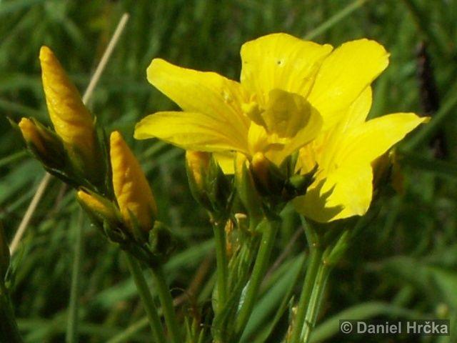 LINUM FLAVUM L. – len žlutý