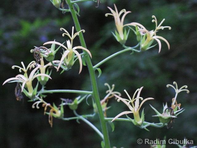 Musschia wollastonii