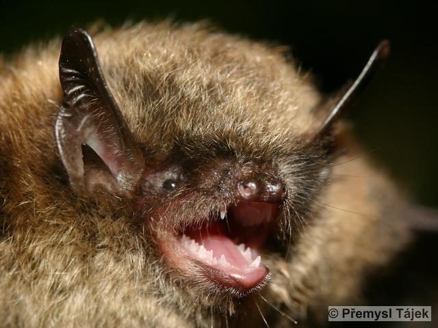 MYOTIS BRANDTII (Eversmann, 1845) – netopýr Brandtův