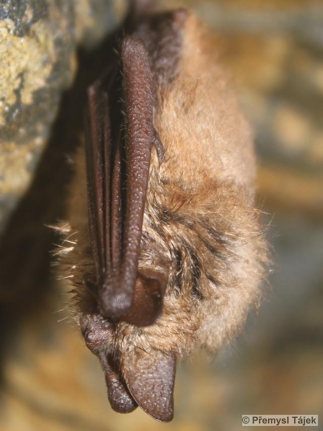 netopýr brvitý