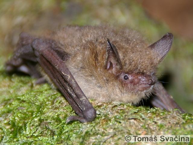 MYOTIS EMARGINATUS (E. Geoffroy, 1806) – netopýr brvitý