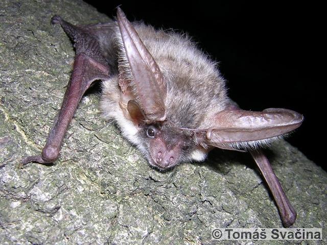 PLECOTUS AUSTRIACUS (J. Fischer, 1829) – netopýr dlouhouchý