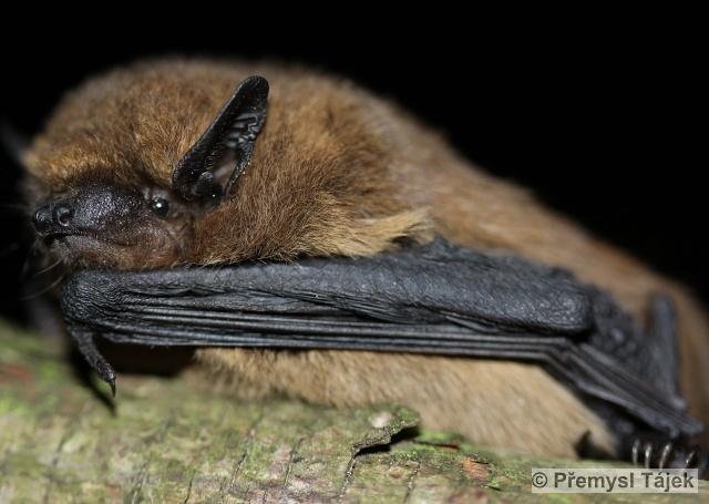 PIPISTRELLUS PIPISTRELLUS (Schreber, 1774) – netopýr hvízdavý