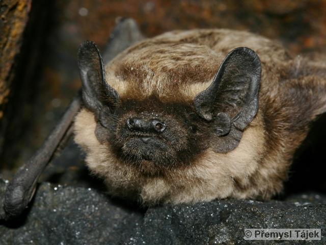 VESPERTILIO MURINUS Linnaeus, 1758 – netopýr pestrý