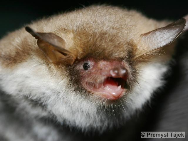 MYOTIS NATTERERI (Kuhl, 1817) – netopýr řasnatý
