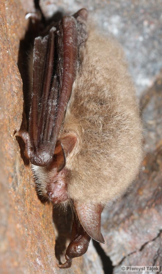 netopýr řasnatý
