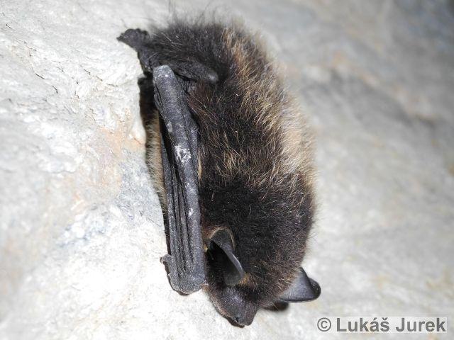 EPTESICUS NILSSONII (Keyserling & Blasius, 1839) – netopýr severní
