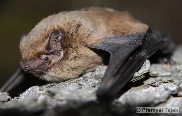 NYCTALUS LEISLERI (Kuhl, 1817) – netopýr stromový
