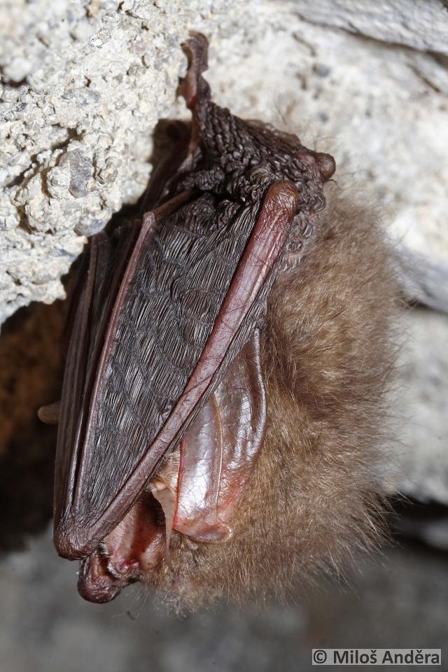 netopýr ušatý