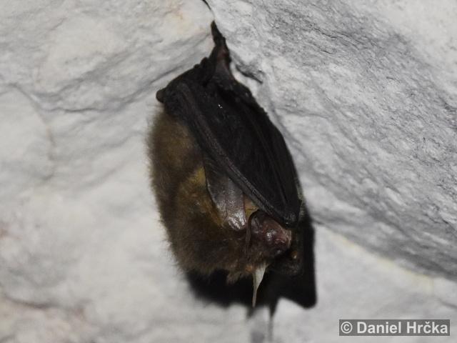 PLECOTUS AURITUS (Linnaeus, 1758) – netopýr ušatý