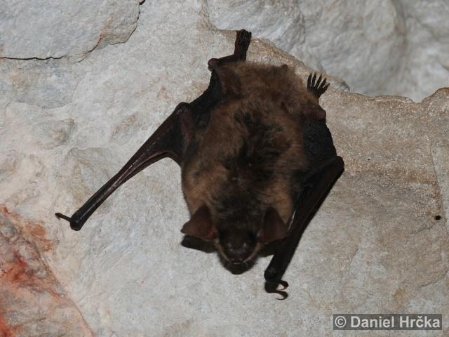 EPTESICUS SEROTINUS (Schreber, 1774) – netopýr večerní