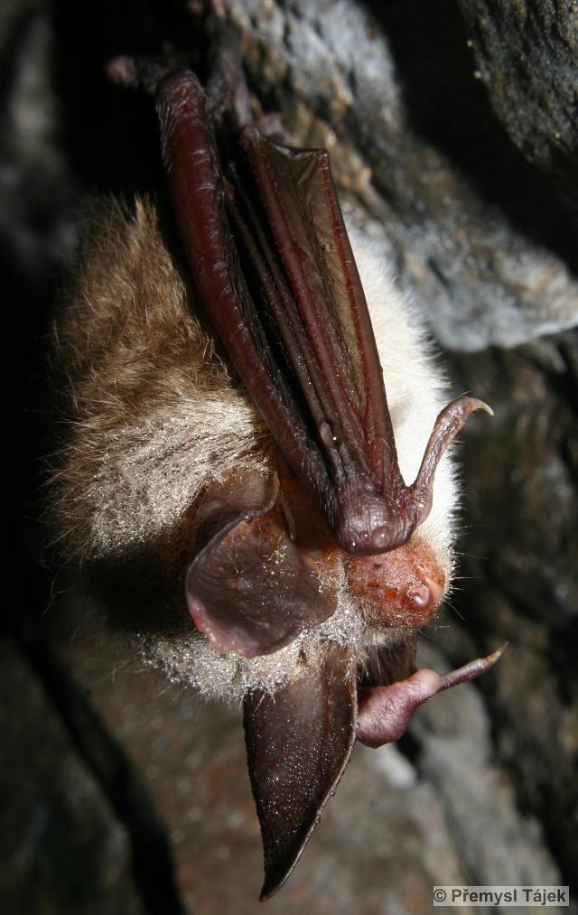 netopýr velkouchý